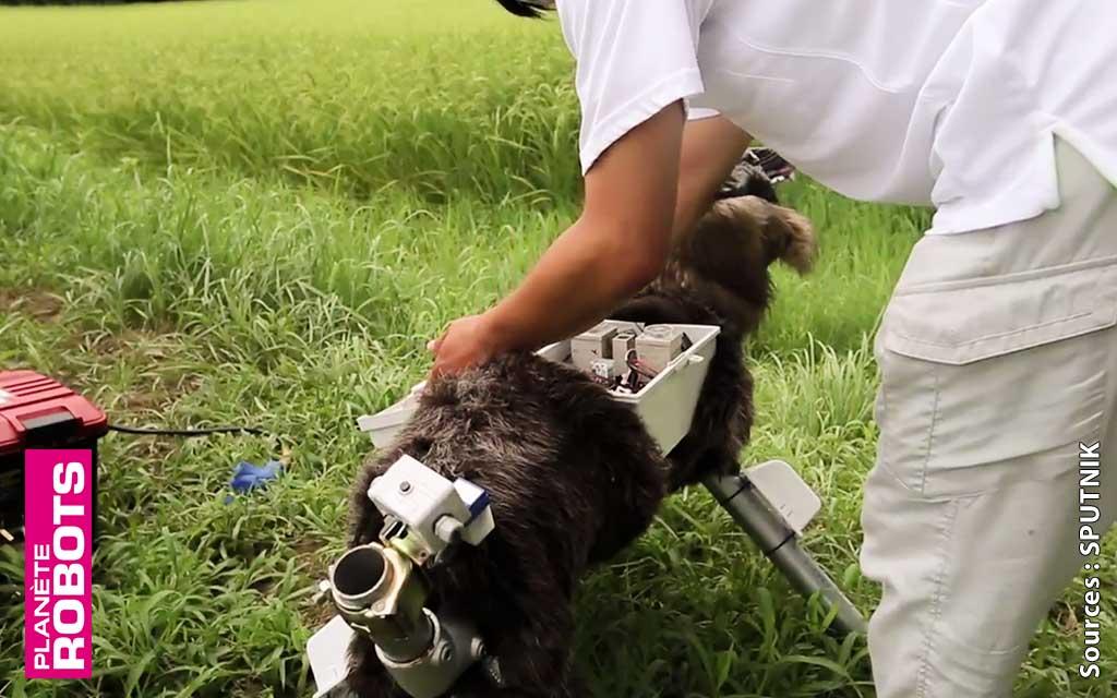 Au japon un robot loup protège les cultures