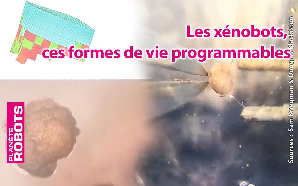 Les xénobots, ces formes de vie programmables