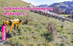 SpotMini garde des moutons