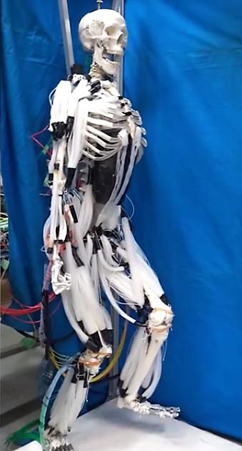 Le squelette entier avec tous les muscles artificiels