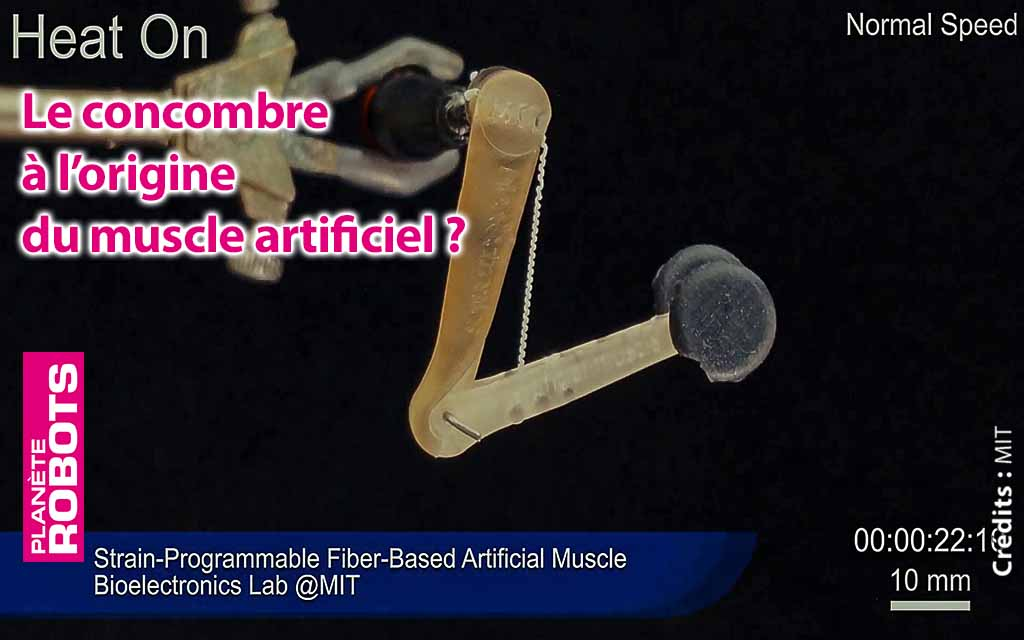 Le concombre à l'origine du muscle artificiel ?